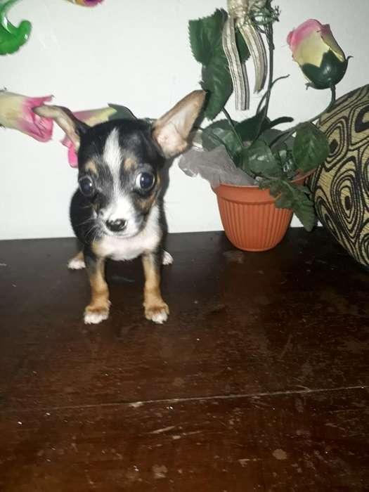 Chihuahuas Mini Toy