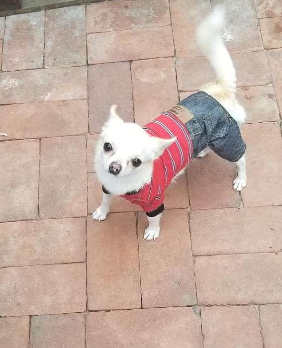 Chihuahuas Sanos Y Vacunados por Viaje