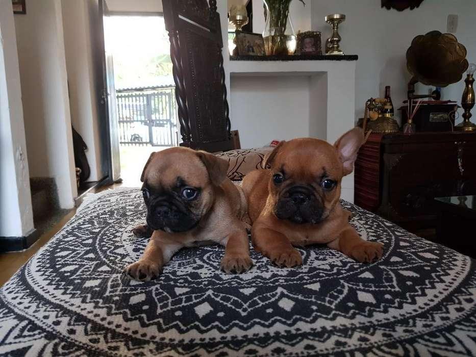 Hermosos Cachorros de Bulldog Francés