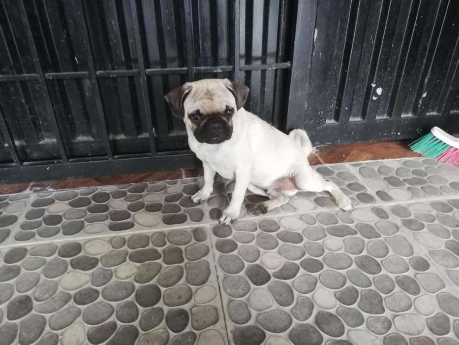 Vendo Perro Pug Macho de Cuatro Meses