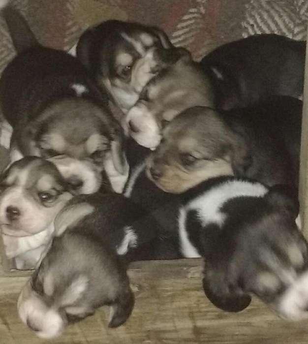 Vendo Beagle Machos Y Hembras