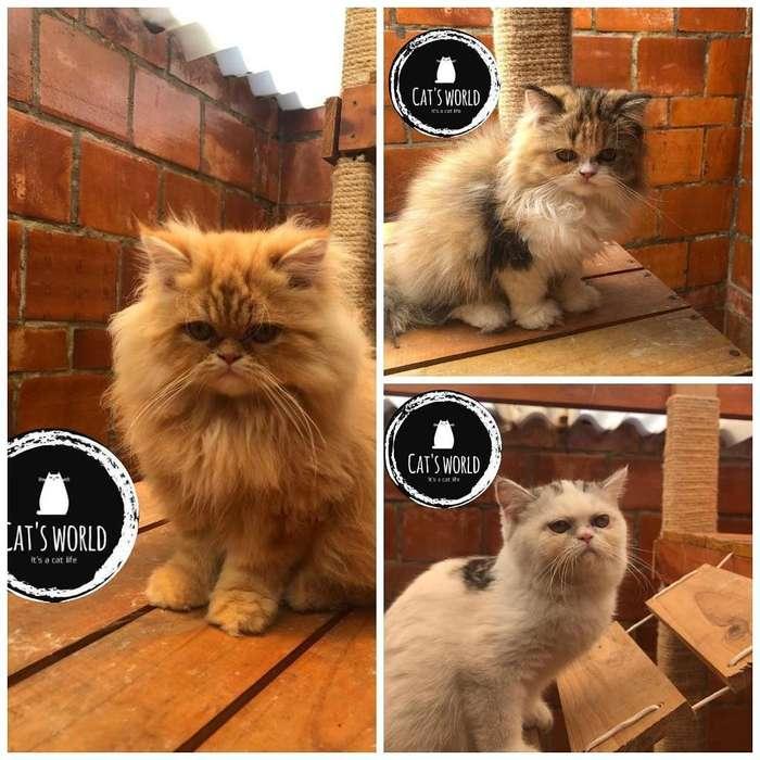 Gatos Persa Y Exoticos