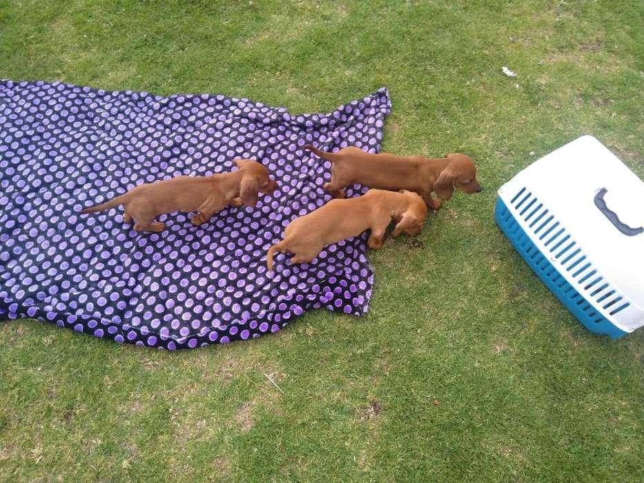 Cachorros dachshund o teckel (Salchicha)