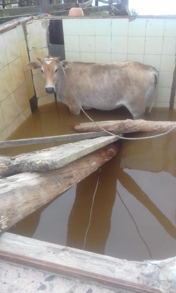 Hermosa Vacas Lecheras con Su Crias