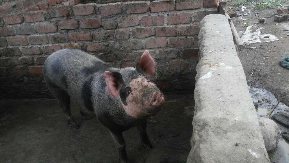 Cerdo En. Venta