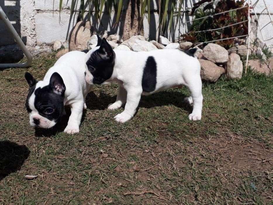 <strong>bulldog</strong> Frances con Fca