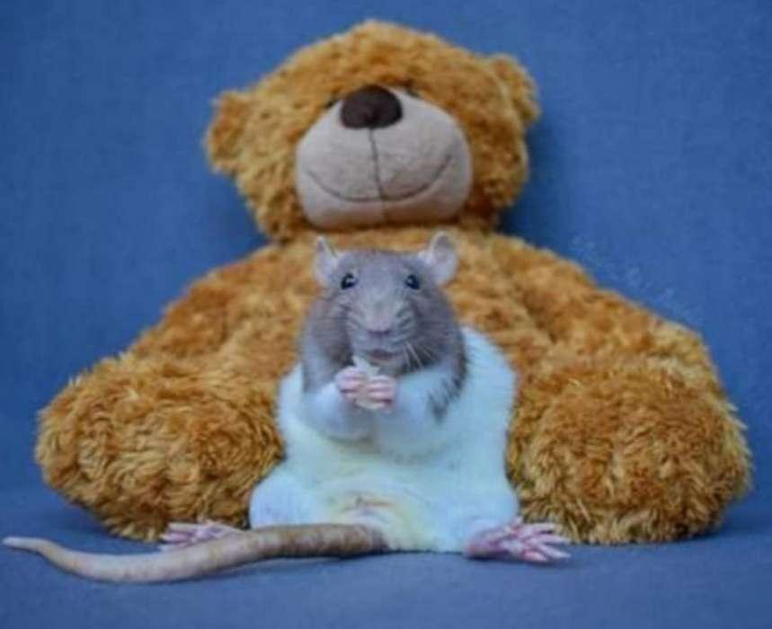 Vendo Ratas Albinas Y Capuchinas