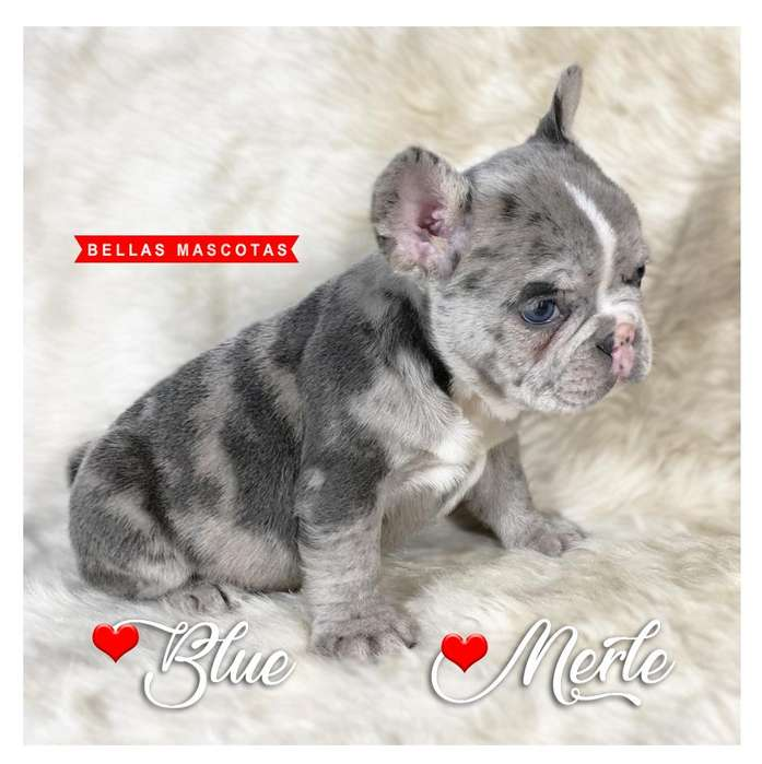 MIRA <strong>bulldog</strong> Frances Blue Merle Hembra Ojos Claros Divina!!!