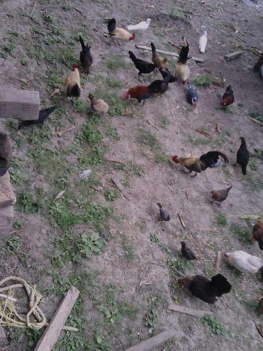 Gallos Chiricanos