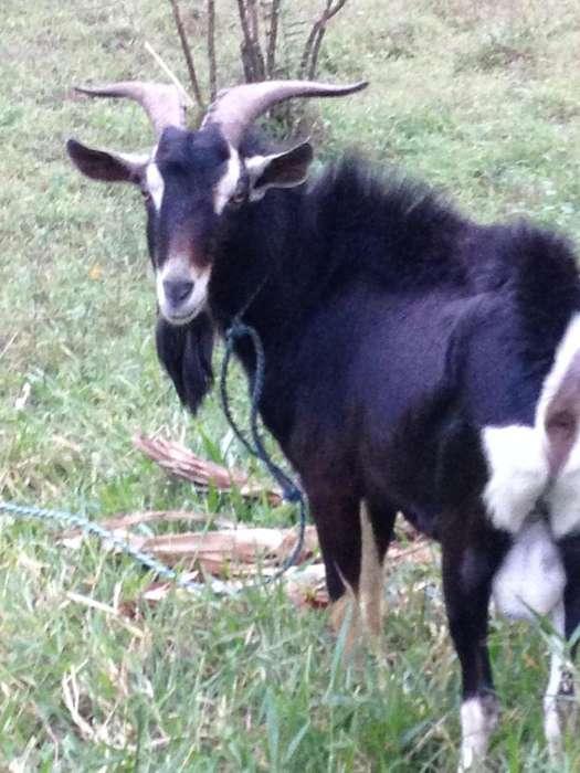 Chiva o cabra en gestación (3 parto) hijo de 8 Mes - Padrón 3 años