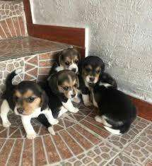 bellos <strong>beagle</strong> mini