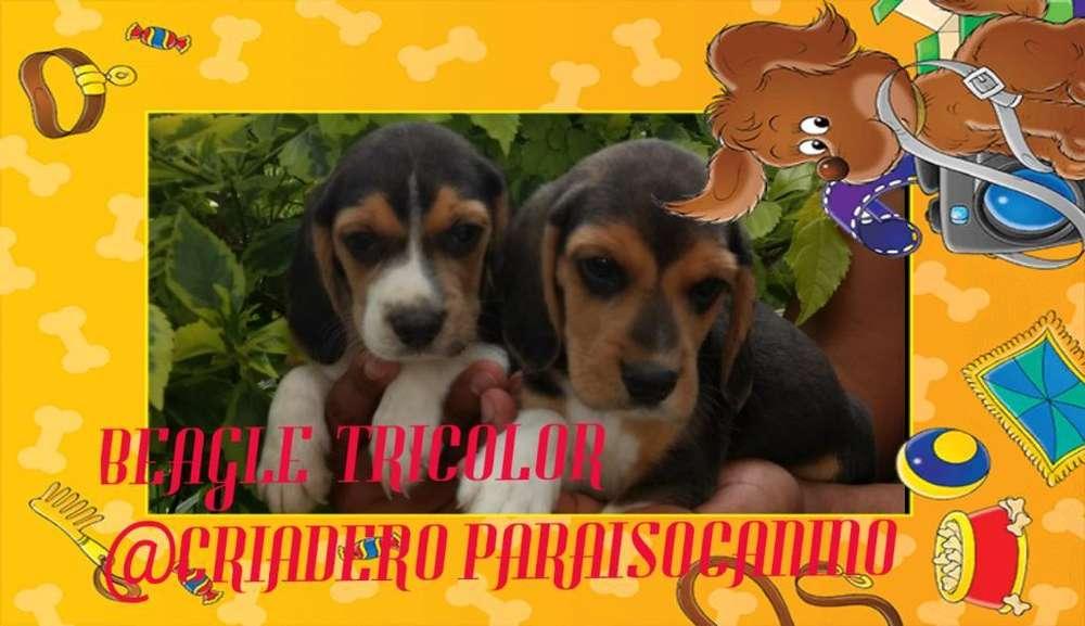 Cachorritos <strong>beagle</strong> Tricolor