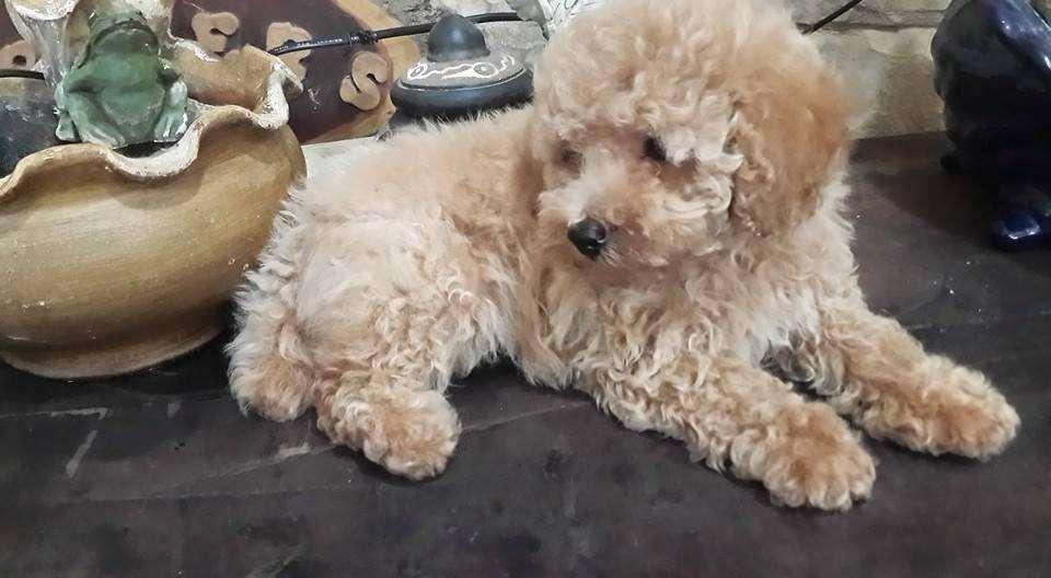 Criadero familiar de mascotas Caniches Toy , bellos <strong>cachorro</strong>s a la venta en variedad de colores