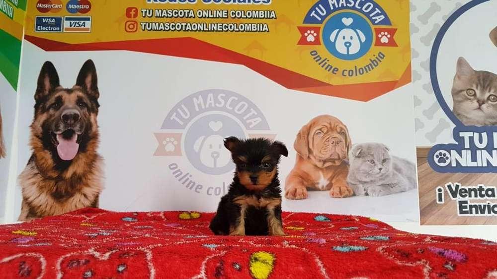 Chiquitines Yorkshire Terrier Tacita