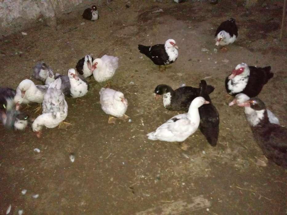 Patos Criollos para Engorde