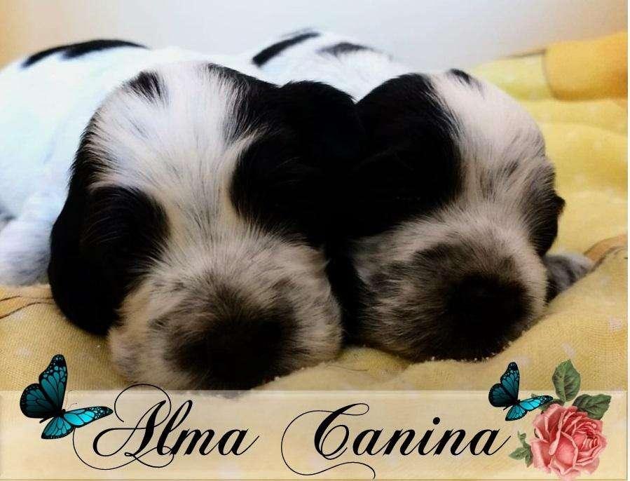 cocker cachorros LO MEJOR!!! CONSULTANOS!!