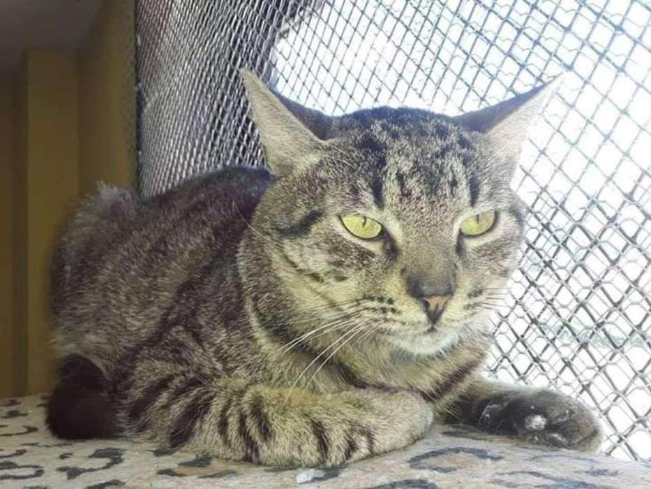 Azrael <strong>gato</strong> en Adopción