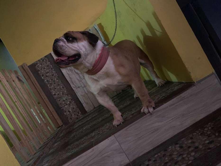 <strong>bulldog</strong> Ingles preñada recien inseminada