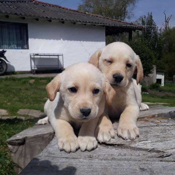 Husky Siberiano, Bull dog inglés y francés, Border <strong>collie</strong>r, Pinscher CACHORROS PURA RAZA DESDE