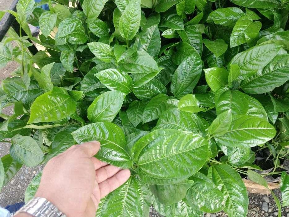Plantas de Maracuya .certificada