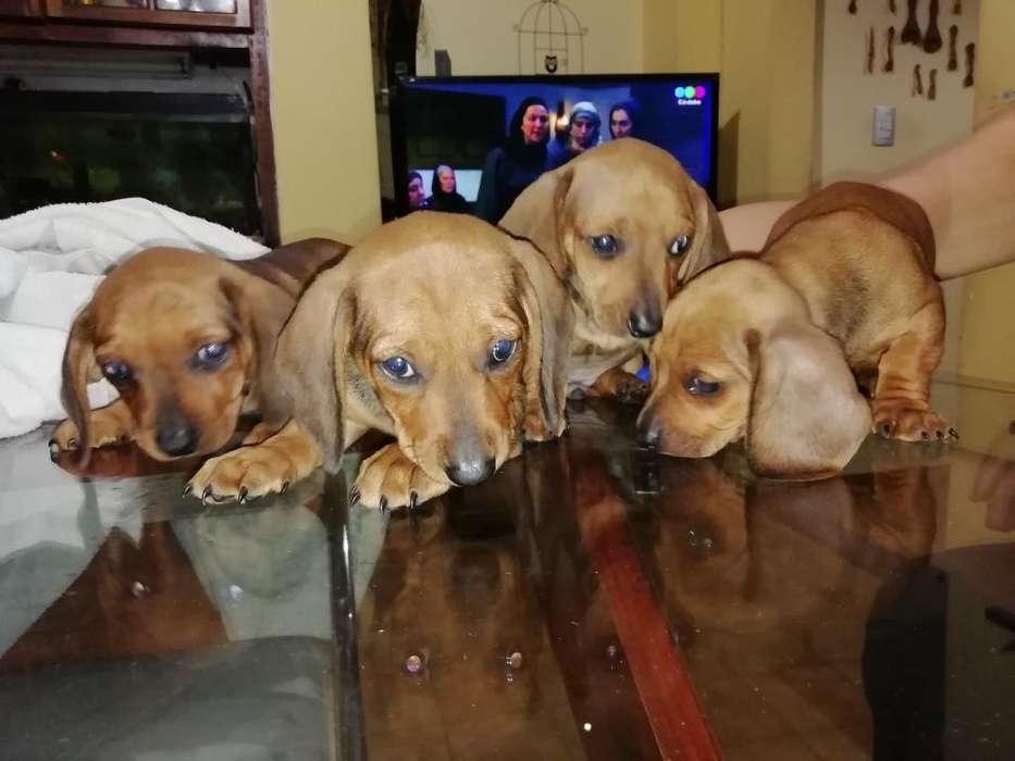 Cachorros Salchicha Daschund Estándar