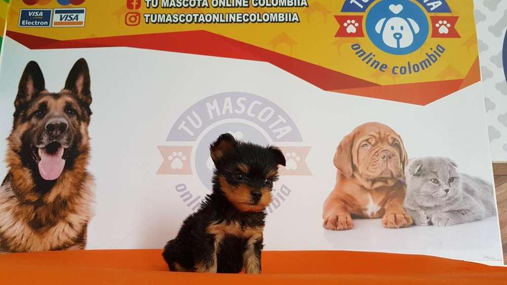 Vacunado Yorkshire Terrier mini Bellisimo