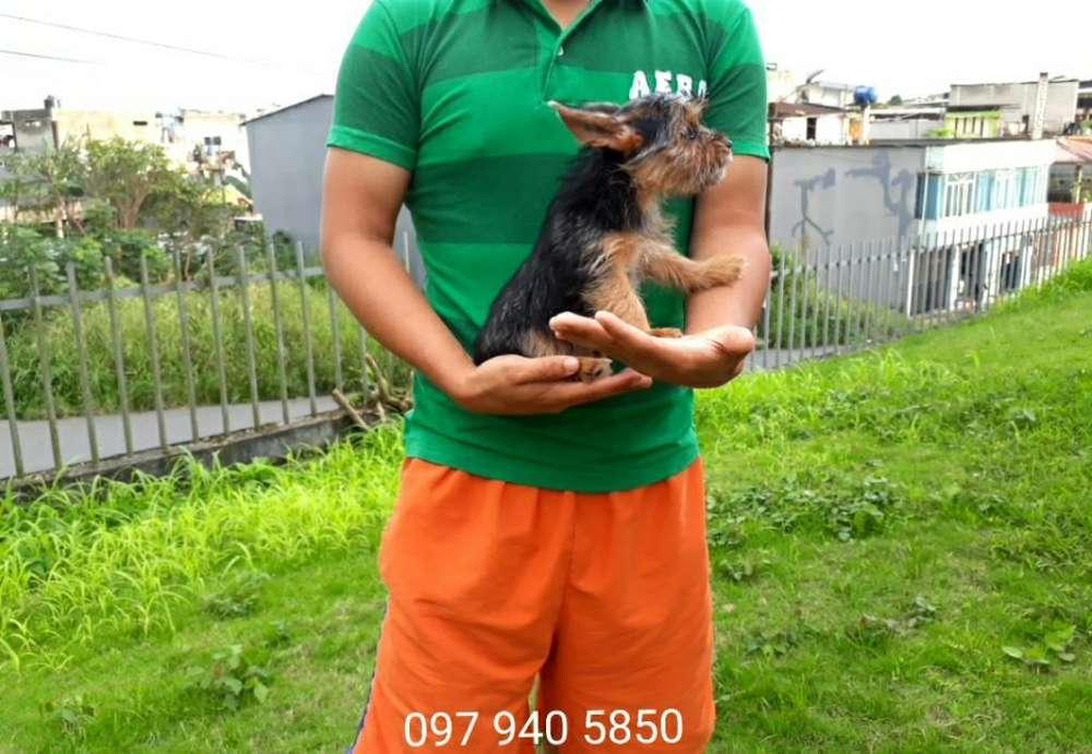 Unica Y Ultima Yorkshire Terrier Mini