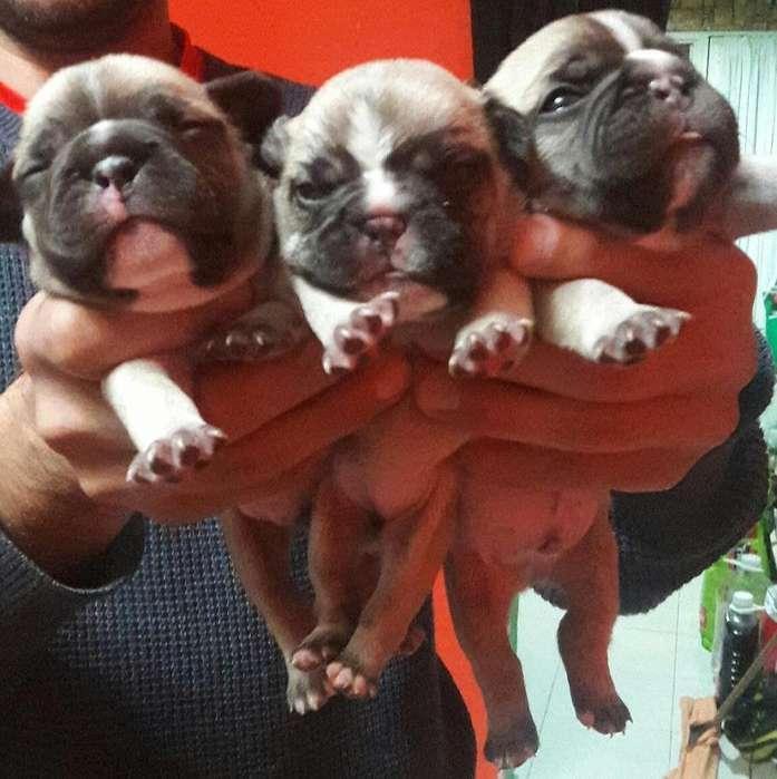 Vendo cachorros Bulldog Frances