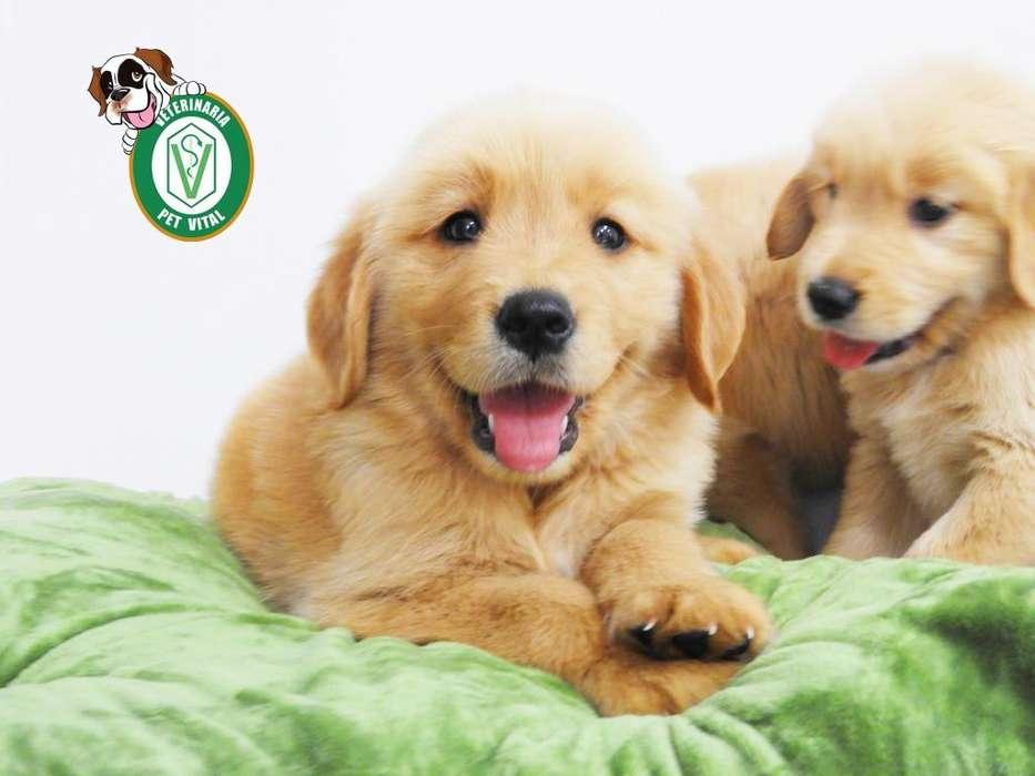 HERMOSOS <strong>cachorro</strong>S GOLDEN*BEAGLE*PUG*CHIHUAHUA*CHOW CHOW*BULLDOG*SIBERIANO EN PET VITAL