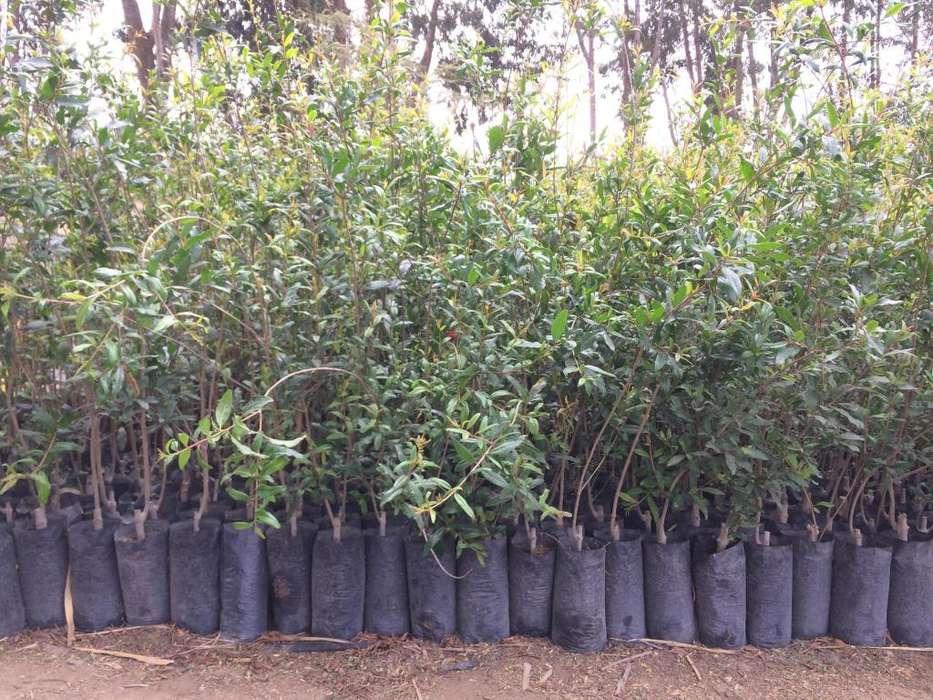 Plantas de GRANADO WONDERFUL