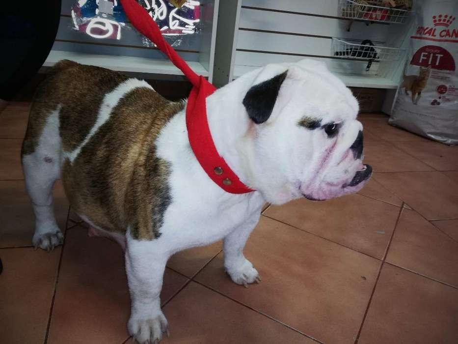 Bulldog Inglés Hembra Joven