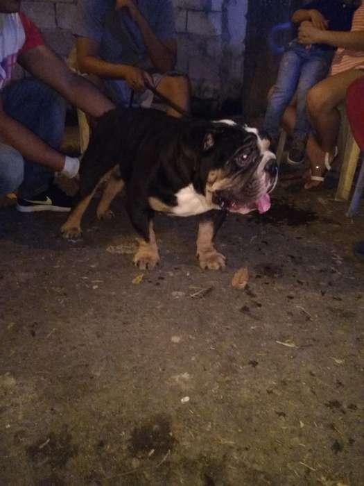 Bulldog Éxotico Monta