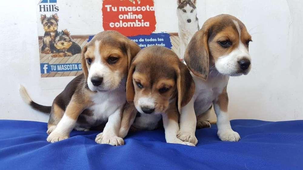 Cariñosos <strong>beagle</strong>s Minis Gruesos