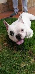 Bull Dog Frances Disponible