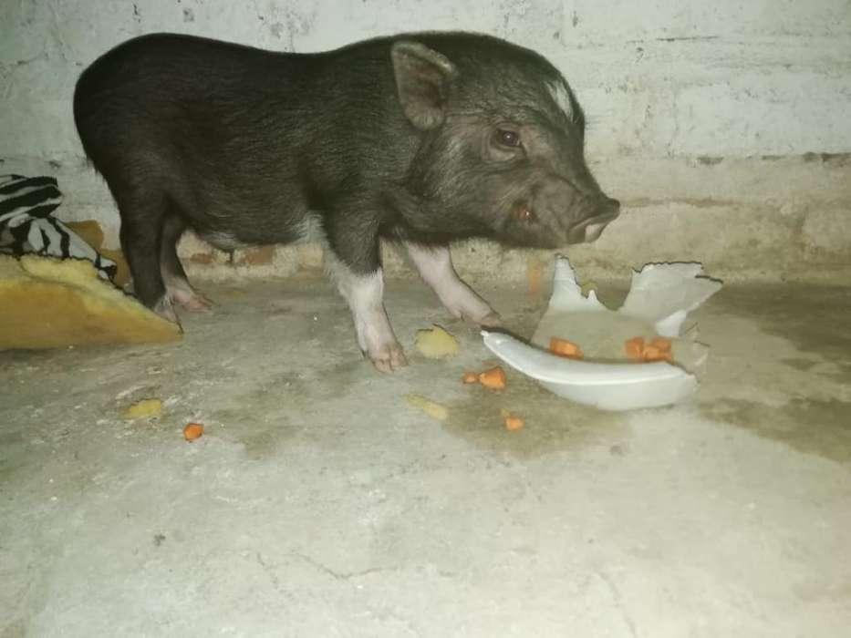 Vendo Hermosos Chanchito Mini Pig