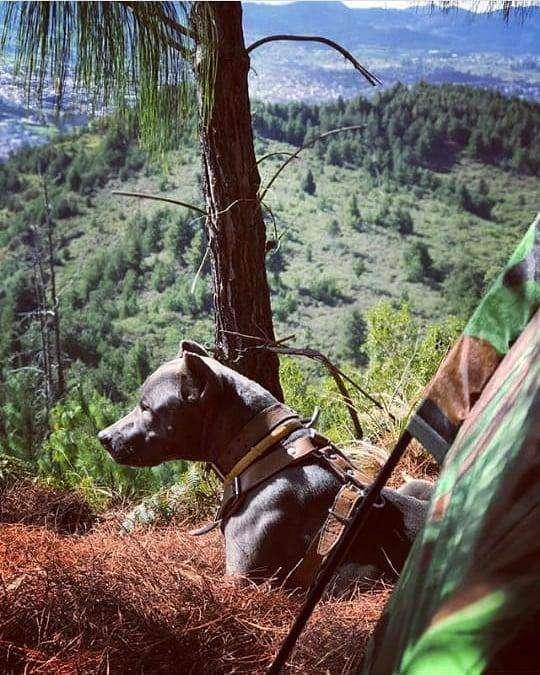 pitbull blue nouse MONTA