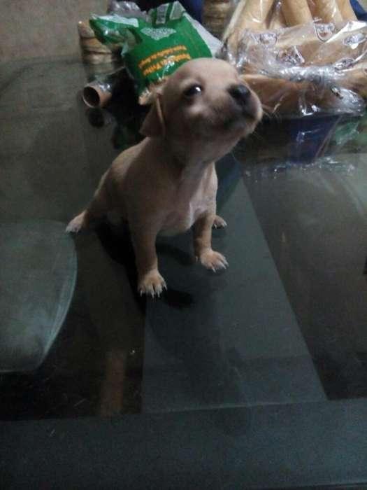Vendo <strong>perros</strong> Pincher Negociables