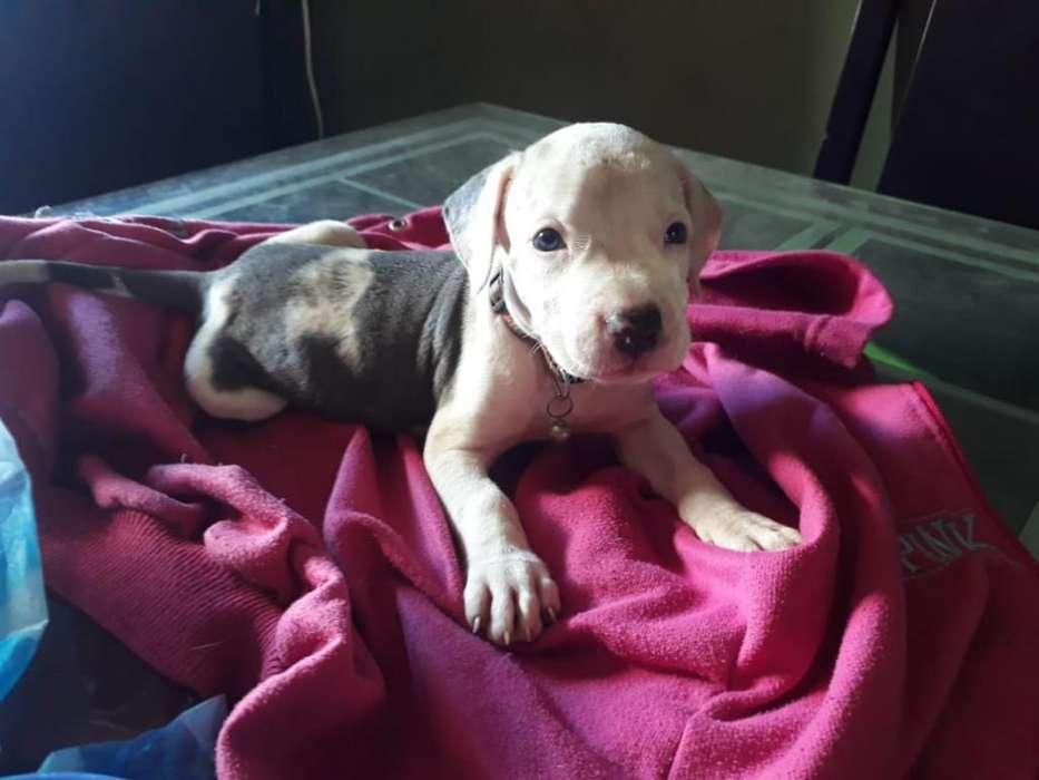 Disponible Cachorra Pitbull Blue Nose
