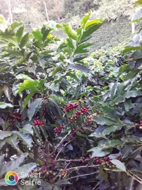 Finca Cafetera A la Venta en el Tolima (Municipio de Ibagué)