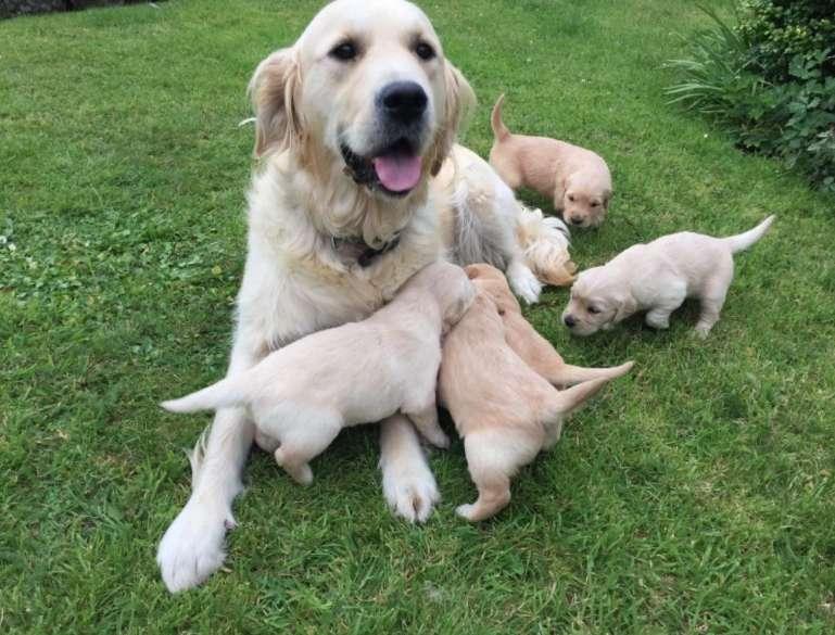 golden retriever cachorrit000s