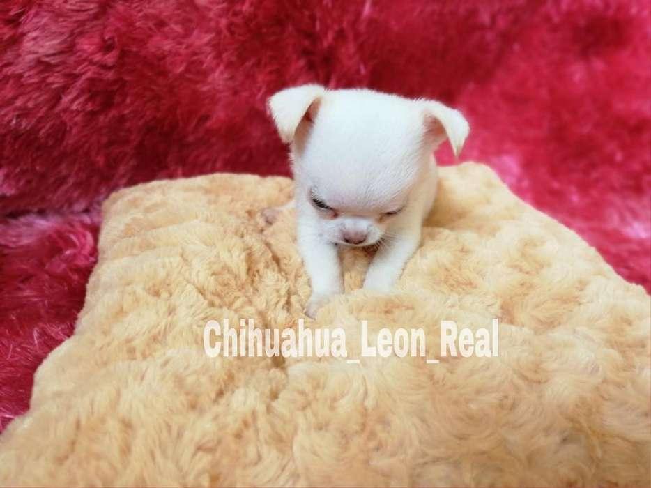Vendo Chihuahua Blanca Hembra