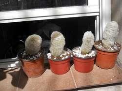 cactus espopstoa lanata cabeza de viejo 10 cm alto M 10