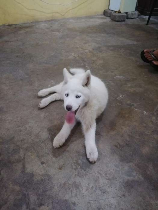 Se Vende Cachorro Husky Blanco Puro