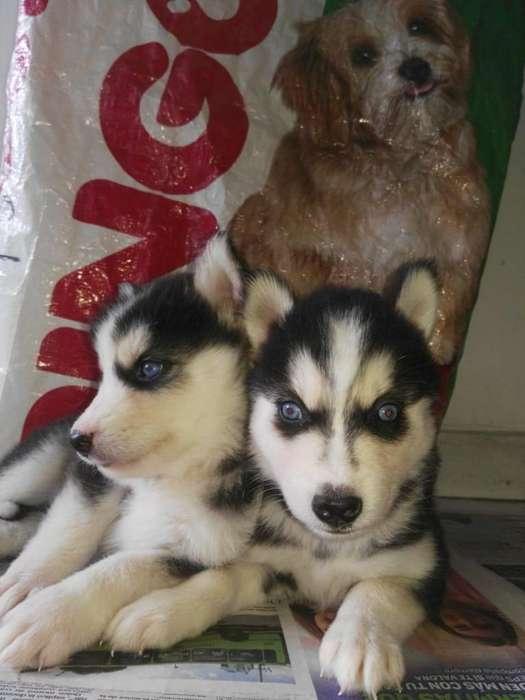 extraordinarios <strong>cachorro</strong>s huskies bello pelaje