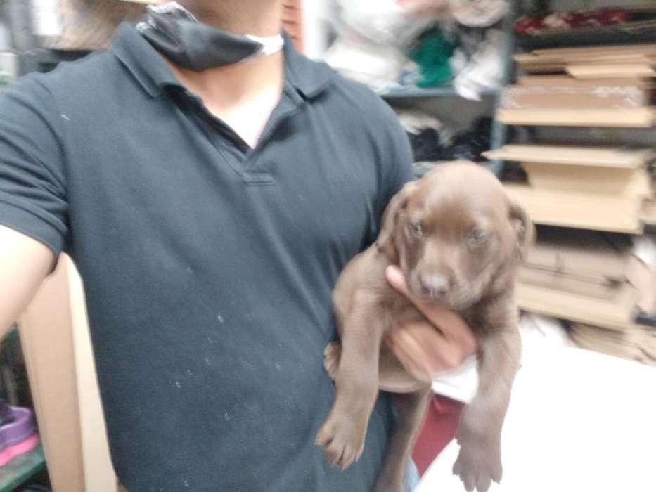 Labradores Chocolate Hembras