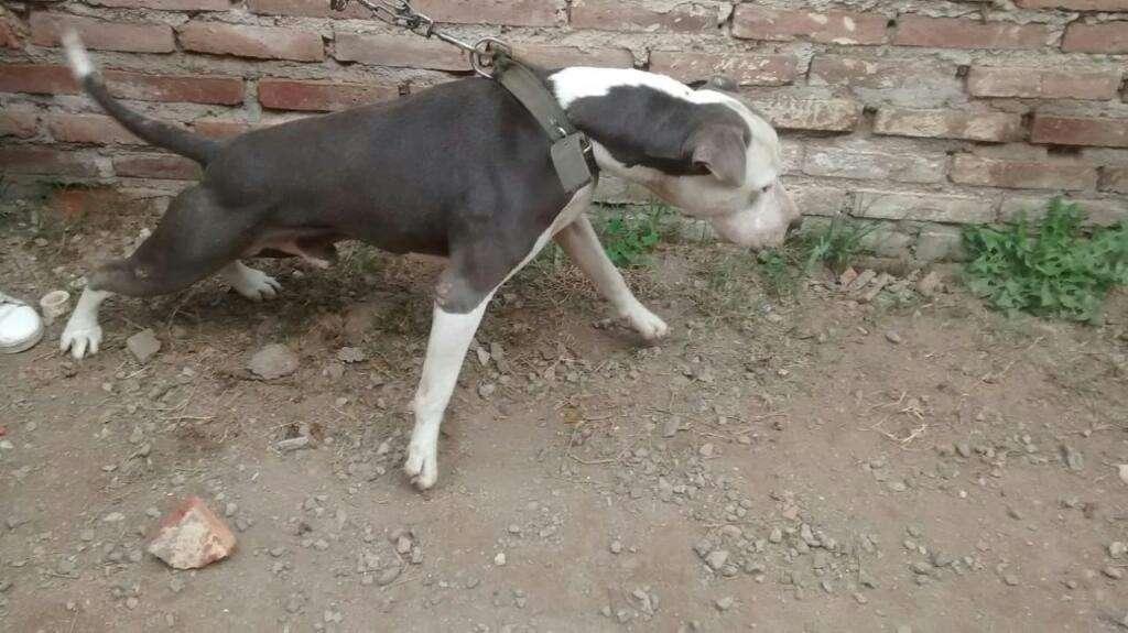 Vendo Perro de Dos Años Y Medio