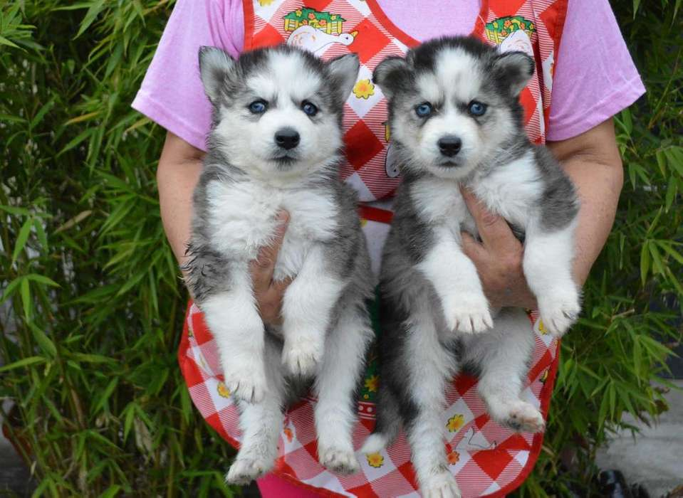 Vendo cachorro Huskys siberianos