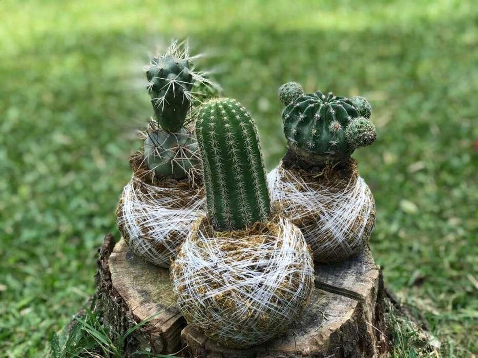 Kokedamas Cactus