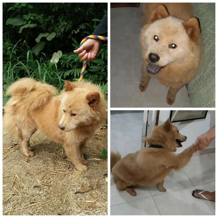 HERMOSA <strong>perra</strong> CHOW CHOW ADULTA