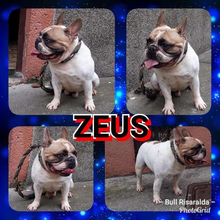 Zeus Busca Novia <strong>bulldog</strong> Frances